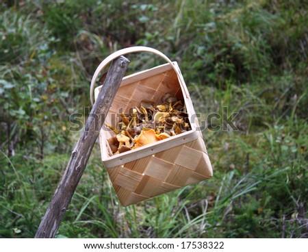 funnel chanterelle - stock photo
