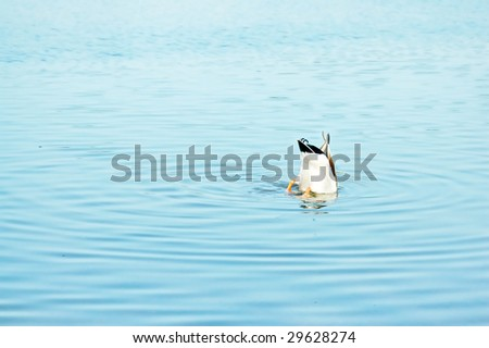 Funny. A duck fishing in the water with only its bum exposed. - stock photo