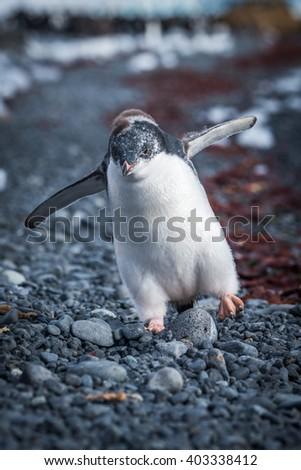 Funny adelie penguin chick running on shingle - stock photo