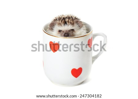 Funny african pygmy hedgehog pokes it's head out of the mug - stock photo