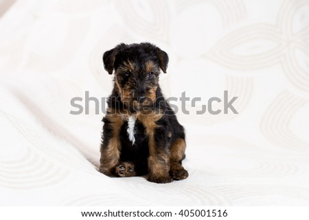Funny Airedale terrier puppy  - stock photo