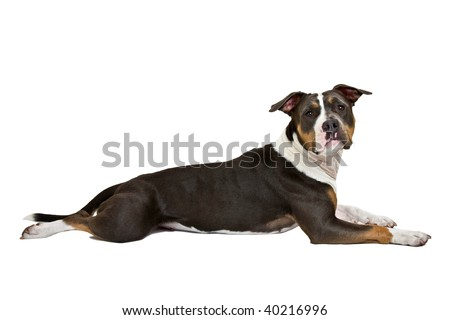funny american staffordshire terrier