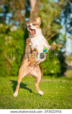 Funny american staffordshire terrier dog playing with a ball, the situation looks like a dog is scared of a ball - stock photo
