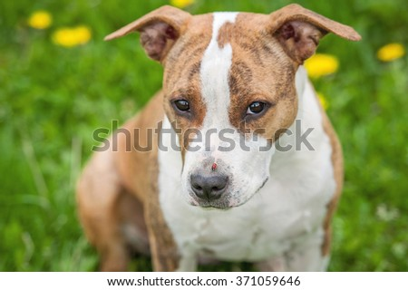 Funny american staffordshire terrier dog with a ladybug on its nose - stock photo