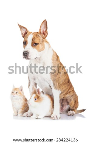 Funny american staffordshire terrier dog with rabbit and red kitten
