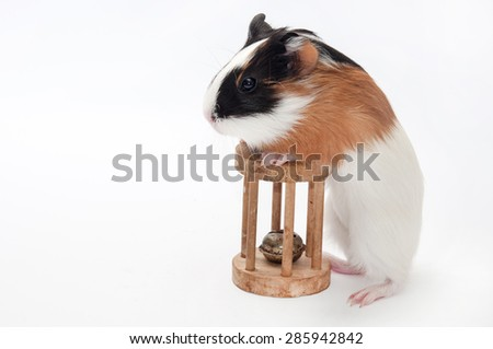 FUNNY BABY GUINEA PIG PLAYING WOODEN TOY OVER WHITE BACKGROUND. - stock photo