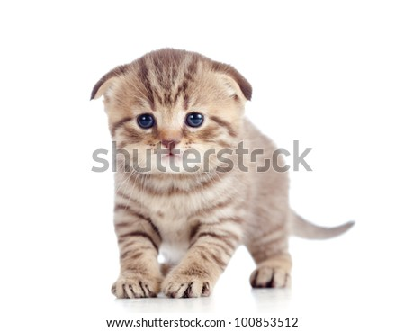 funny baby Scottish british kitten standing on floor - stock photo