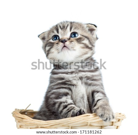 funny baby Scottish fold kitten sitting in basket - stock photo