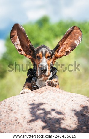 Funny basset hound with ears up  - stock photo