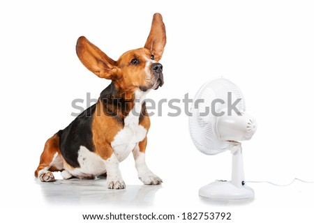 Funny basset hound with flying ears up sitting near the fan - stock photo
