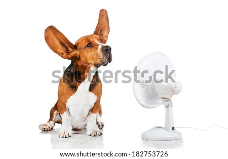 Funny basset hound with flying ears up sitting opposite the fan - stock photo