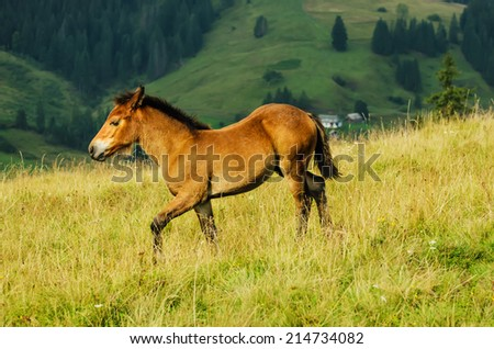 Funny bay foal riding in the mountains at sunset, natural background - stock photo