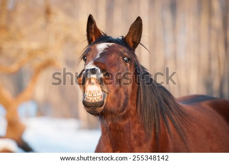 Funny bay horse smiling - stock photo