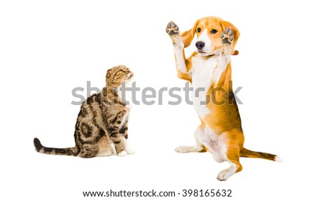 Funny Beagle dog and cat Scottish Fold isolated on white background - stock photo