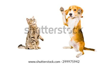 Funny beagle dog and cat Scottish Straight isolated on white background - stock photo