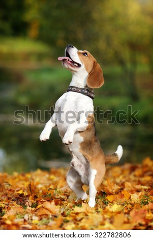 Funny beagle dog stands on its hind legs - stock photo