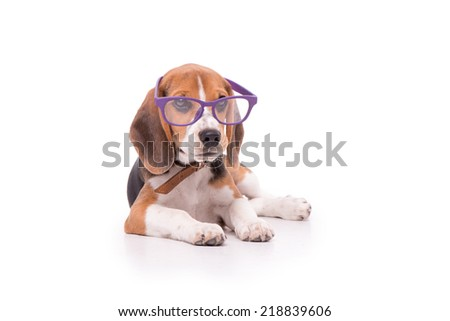 Funny Beagle in glasses