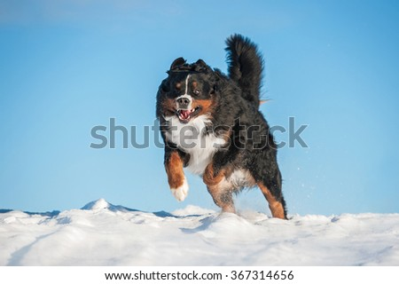 Funny bernese mountain dog playing in winter - stock photo