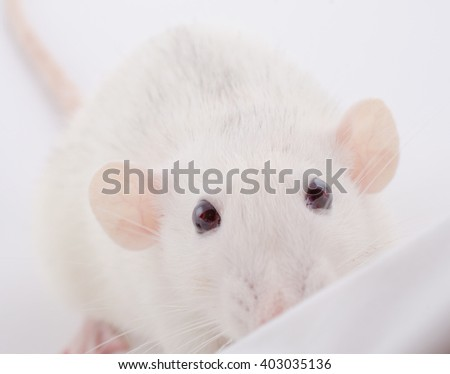 Funny big-eared white rat peeping over the edge (selective focus on the rat eyes) - stock photo
