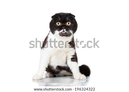 Funny black and white scottish fold - stock photo