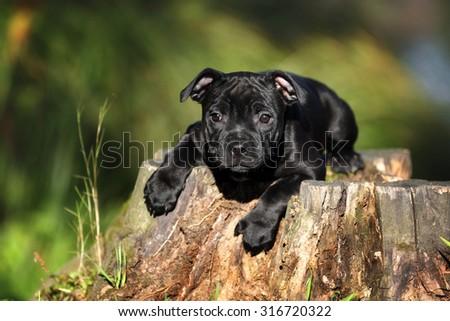 Funny black puppy lying on a tree stump - stock photo