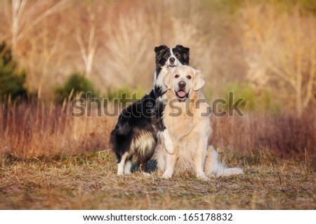 Funny border collie and golden retriever - stock photo