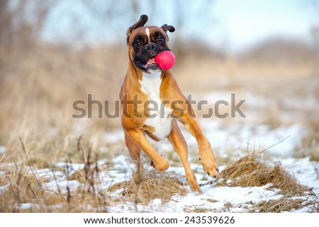 funny boxer dog with a ball - stock photo