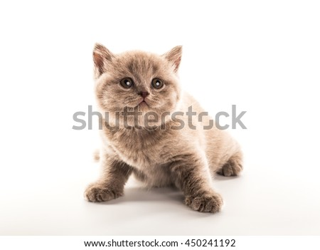 Funny British kitten isolated on white background