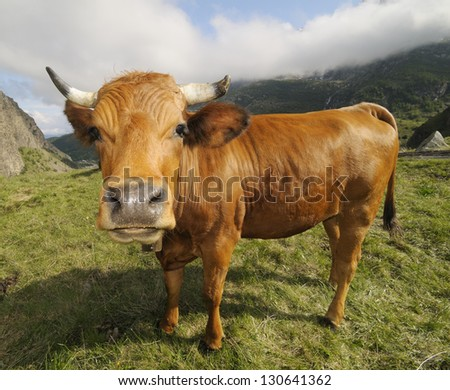 funny brown cow - stock photo