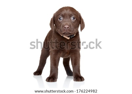 Funny, brown Labrador puppy posing on white background