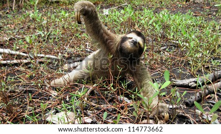 Funny Brown Throated three toed sloth on the ground, Costa Rica, Central America - stock photo