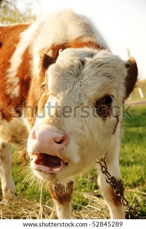 funny bull calf says 'moo', focus on eyes - stock photo