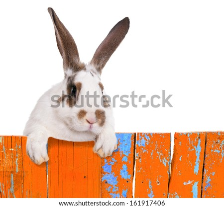 Funny bunny peeking out from behind the fence. Humorous collage. Isolated on white background. - stock photo