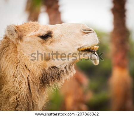 funny camel proud portrait - stock photo