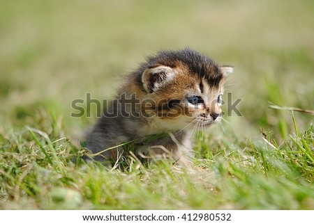 Funny Cat in the Green Grass in Summer. Beautiful Brown Cat with blue Eyes - stock photo