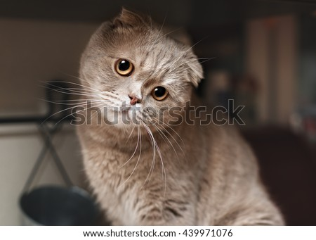 Funny cat in the kitchen. Scottish fold - stock photo