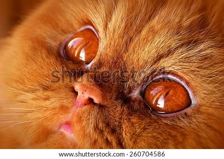 funny cat muzzle with big orange eyes - stock photo