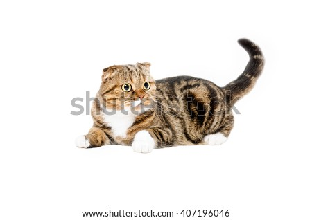 Funny cat Scottish Fold lying with tail raised up isolated on white background - stock photo