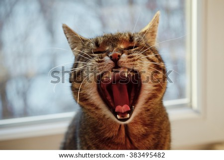 funny cat with an open mouth on window background - stock photo