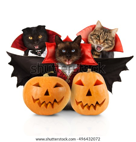 Funny cats are wearing a suit of vampire. Funny cats are celebrating a halloween. Siamese cat is wearing a suit of vampire. Three cats with open mouths.