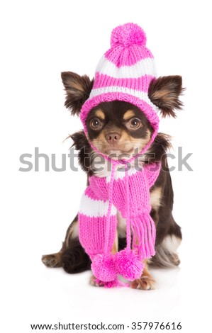 funny chihuahua dog in a hat and scarf - stock photo