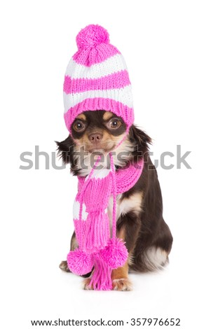 funny chihuahua dog in a pink hat and scarf