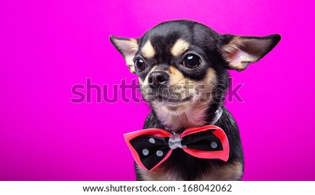 Funny Chihuahua dog with nice bow-tie is isolated on a pink background.