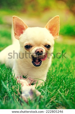 funny chihuahua in the park