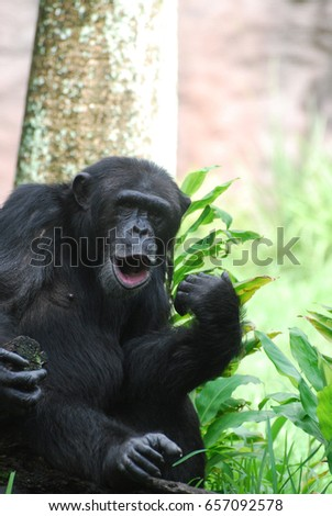 funny chimp making noises his lips stock photo royalty free