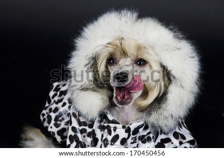 Funny Chinese Crested dog (Powderpuff variety, puppy) licking its lips (on a black background) - stock photo