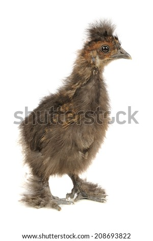 Funny Chinese Silkie Baby Chicken Isolated on White Background - stock photo