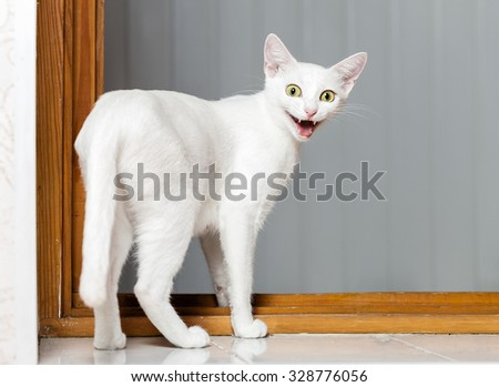 Funny Crazy Cat. Funny evil white cat with open mouth. - stock photo