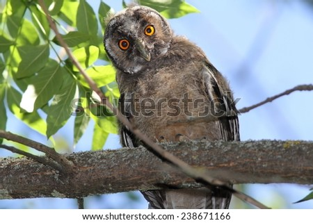 funny curious young owl ( Asio otus ) looking at camera from a tree branch - stock photo
