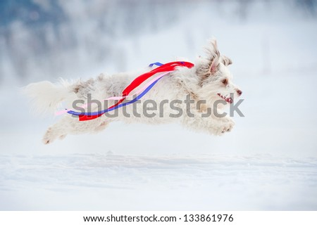 funny curly dog running fast and colored ribbons fluttering in the wind - stock photo